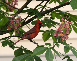 Cardinal in the Red Buckeye tree (Go Bucks!)
