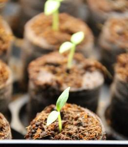 Seedlings in the light garden